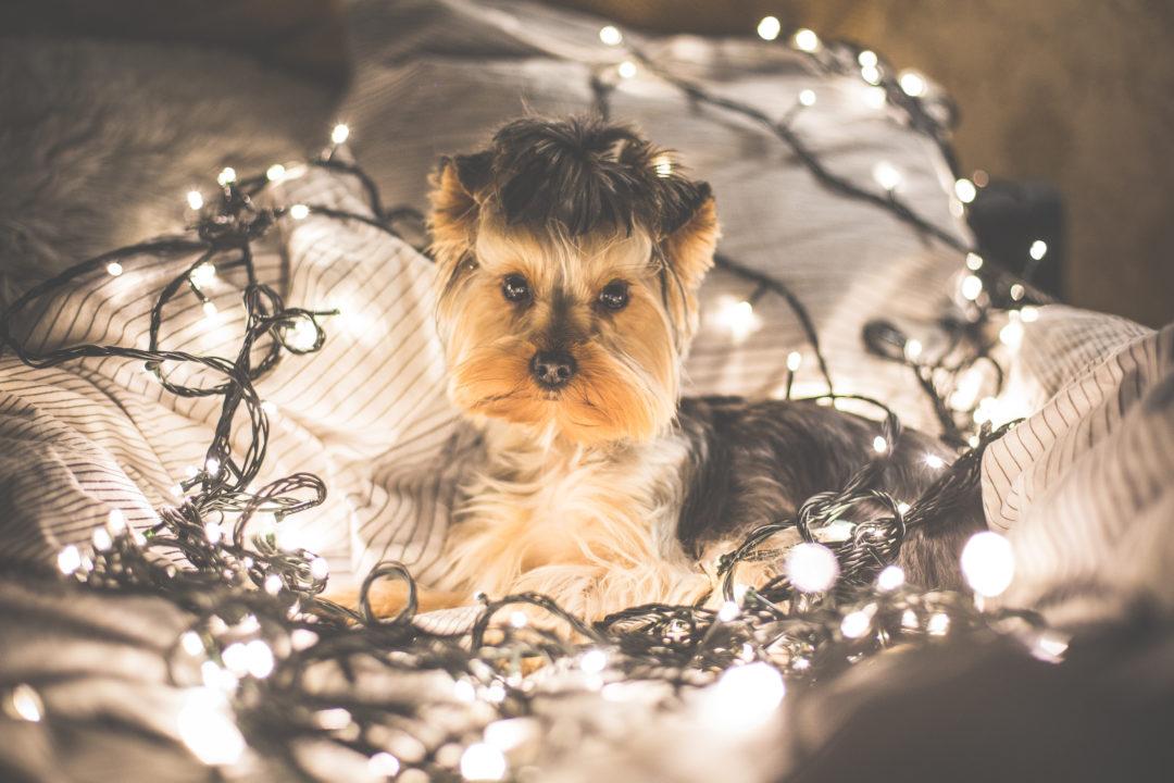 cute-jessie-the-dog-in-christmas-lights-picjumbo-com